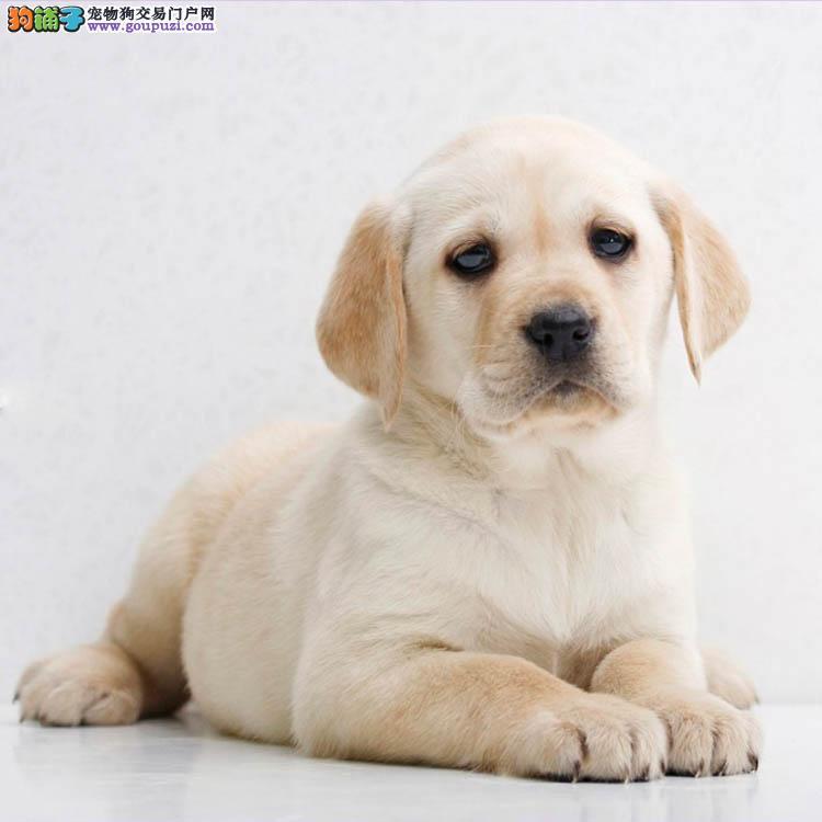 太原出售纯种拉布拉多犬拉拉幼犬导盲犬家养宠物狗狗