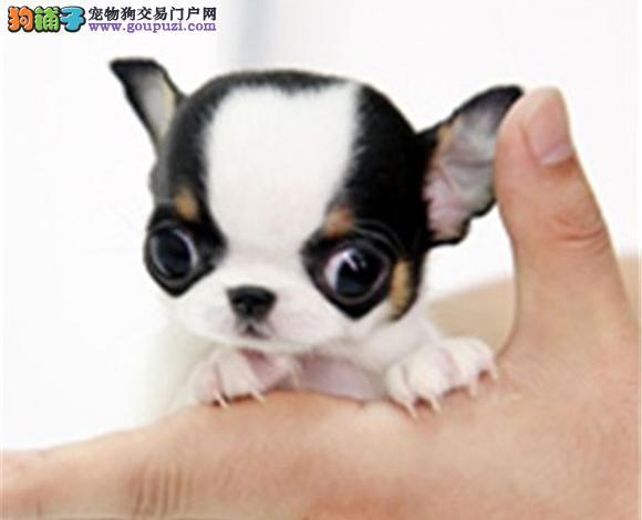 太原出售纯种吉娃娃幼犬苹果头大眼睛小体墨西哥吉娃娃