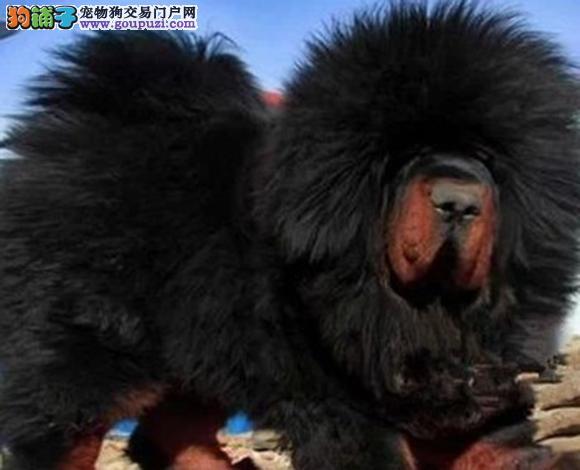 太原出售纯种虎头狮头藏獒犬猛犬幼犬看家护院包健康