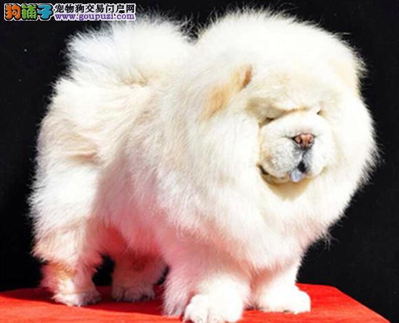成都 哪里出售松狮犬幼犬肉嘴紫舌松狮多少钱一只图片