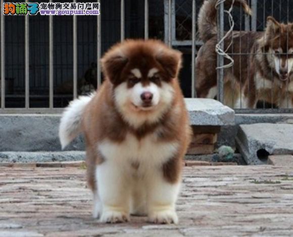 成都出售纯种阿拉斯加犬幼犬熊版大骨架精品雪橇犬