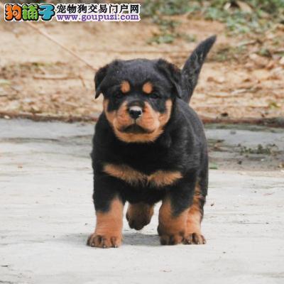 成都哪里出售罗威纳犬防暴犬护卫幼犬罗威纳多少钱一只