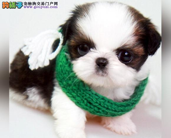 毕节出售纯种西施犬幼犬长毛犬贵族犬多少钱哪里买