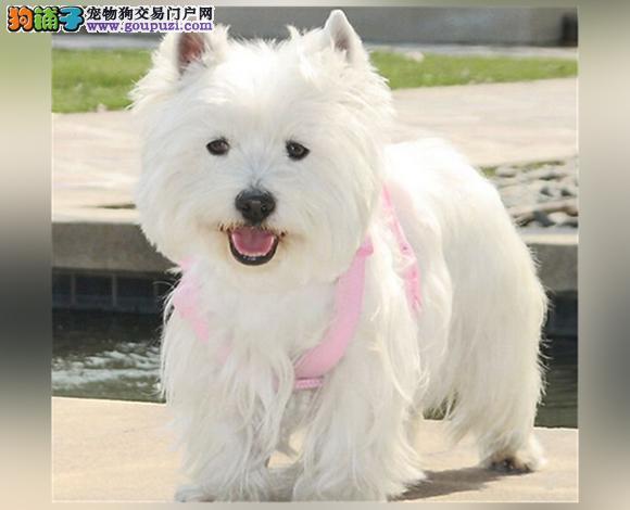 毕节出售纯种西高地犬幼犬哪里买多少钱西高地梗