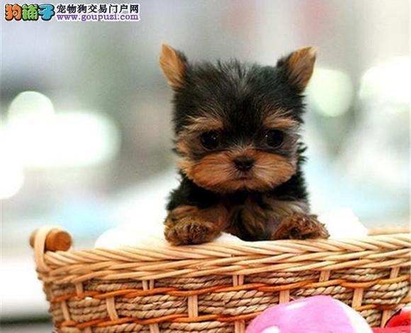 毕节哪里出售约克夏犬幼犬多少钱一只 约克夏图片视频