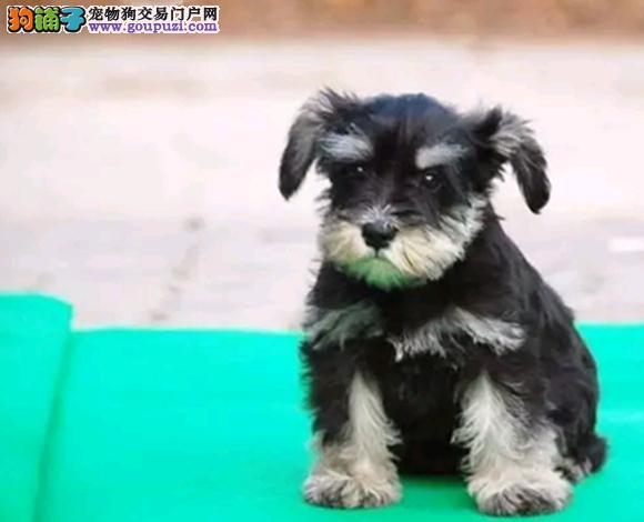 西安哪里出售雪纳瑞犬幼犬老头狗雪纳瑞多少钱一只
