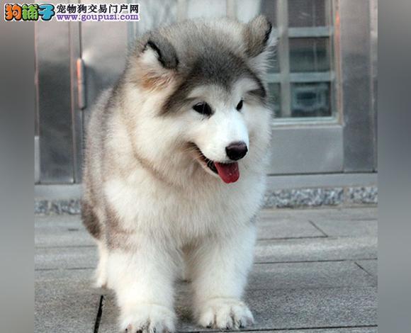 喀什哪里出售阿拉斯加幼犬熊版阿拉斯加多少钱一只
