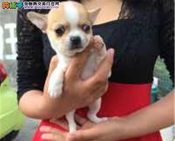 喀什哪里出售吉娃娃幼犬大眼睛吉娃娃多少钱一只