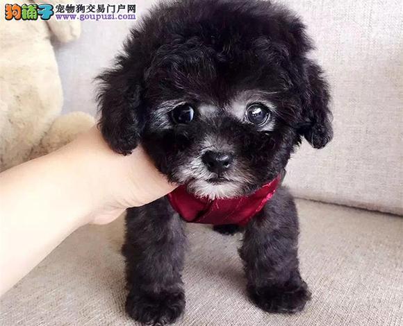 银川出售纯种泰迪贵宾犬泰迪幼犬娃娃脸大眼睛茶杯犬