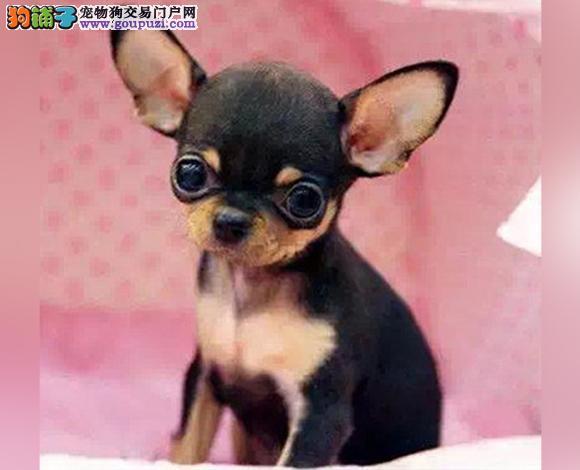 银川出售纯种吉娃娃幼犬苹果头大眼睛小体墨西哥吉娃娃