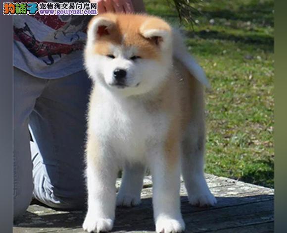 昆明出售纯种秋田犬日系秋田幼犬忠犬八公赛级秋田犬