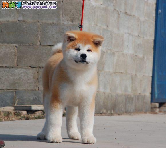 北京秋田犬舍出售忠犬八公原型精品日系笑脸秋田幼犬