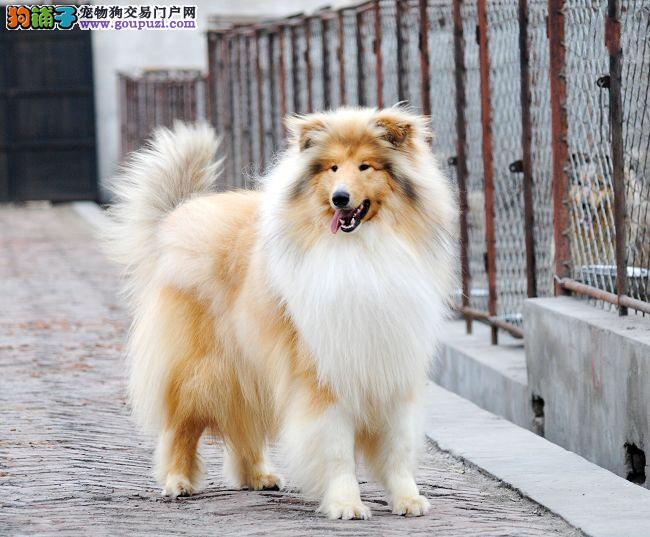 北京苏牧犬舍专业繁殖纯种健康的双血统苏格兰牧羊幼犬
