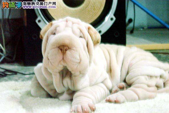 冠军品质的传承!出售高品质大头宽头版大骨架沙皮犬!