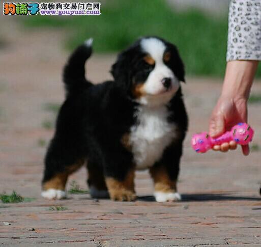 高品质瑞士国犬伯恩山幼犬出售 疫苗做完 终身免费售后