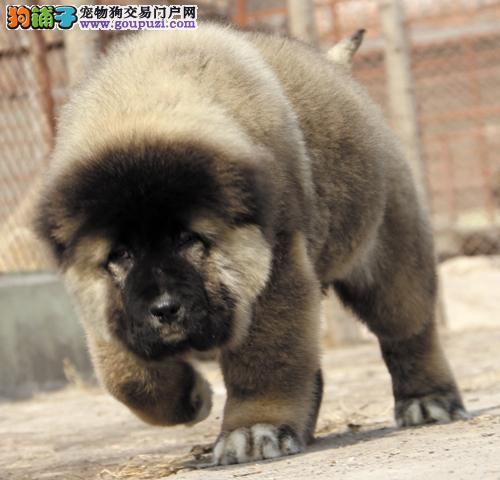北京高加索犬舍出售俄罗斯护卫犬巨型熊版高加索犬幼犬