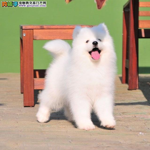 北京萨摩耶犬舍出售顶级微笑天使澳版大毛量萨摩耶幼犬