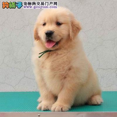 中国高端冠军级赛级金毛领导者,大头宽嘴大毛量大骨架
