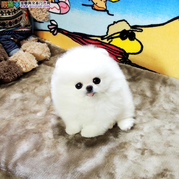 韩国进口哈多利球体精品爆毛博美犬宝宝 可修俊介装