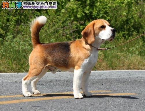 冠军品质的传承!出售高品质双血统比格幼犬纯种健康