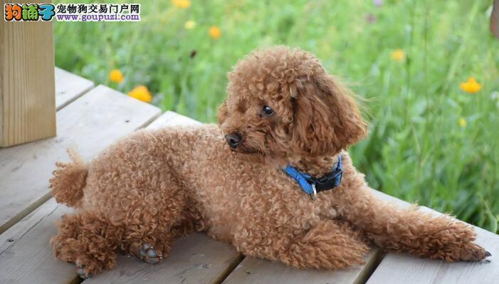 泰迪犬的性格怎么样