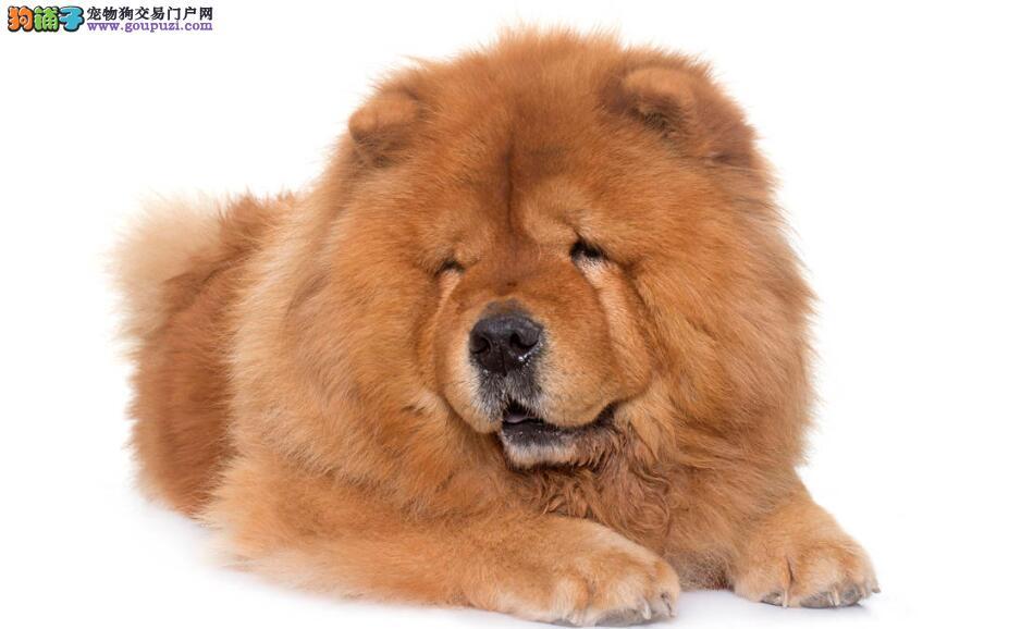 挑选一只好的松狮犬的方法有哪些