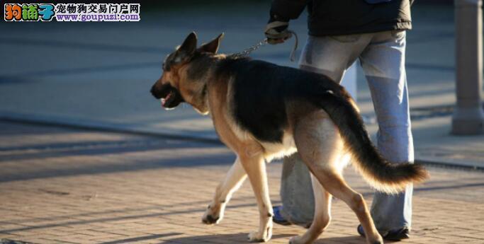 什么样的德国牧羊犬是比较纯正的