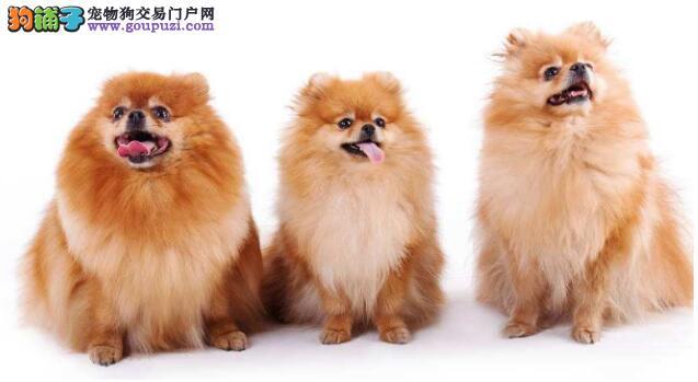 教你怎样知道博美犬的年龄