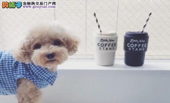 新人小白应该如何挑选泰迪犬呢?