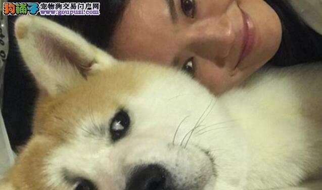 可爱的秋田犬和舒淇抢东西好一个和蔼的女神
