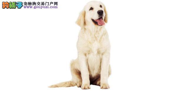 朋友家的金毛太神奇了,竟然救了一条流浪狗的命