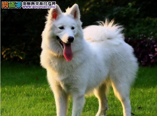 主人对狗狗情深意重,将萨摩耶从屠宰场救回