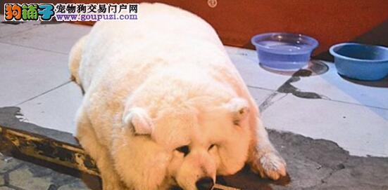 110斤的萨摩耶犬萌翻大家,吃牛奶拌饭长大