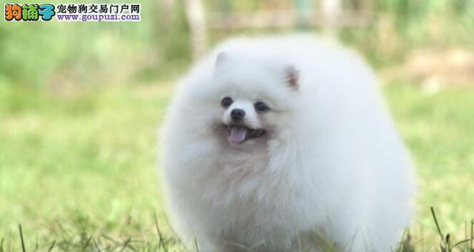 养的博美犬毛发特别粗糙怎么办