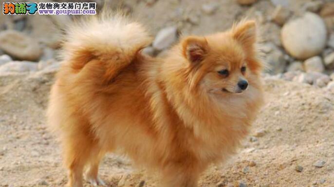 家有博美犬,怎么把他训练的更听话
