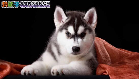 什么样的狗狗适合选美怎么样发现哈士奇生病了
