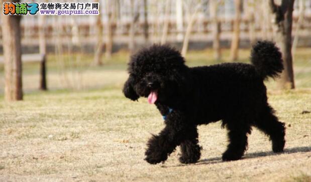 新手泰迪犬训练妙招