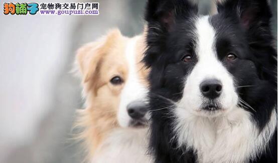 训练边境牧羊犬最大的秘诀——耐心