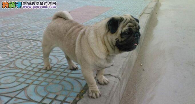 巴哥犬的褶子越来越多怎么办?