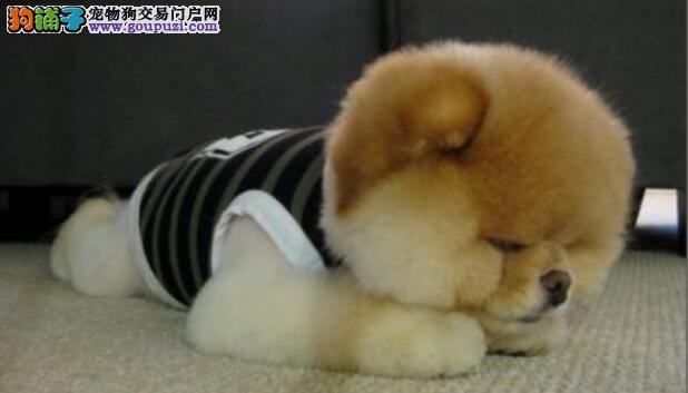 如何消除博美犬的泪痕