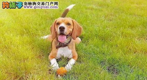 夏季养狗狗的注意事项,狗狗夏天饮食要注意什么