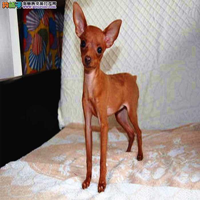 出售小体可爱的小鹿犬保证健康 可视频看狗1