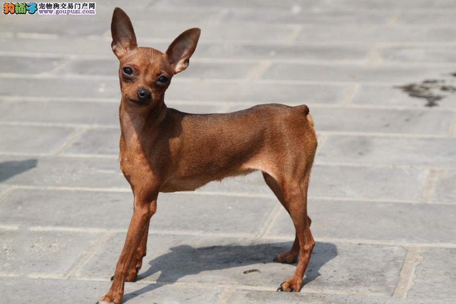 出售小体可爱的小鹿犬保证健康 可视频看狗4