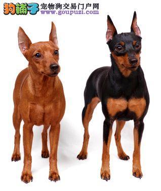 出售小体可爱的小鹿犬保证健康 可视频看狗3