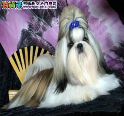 出售纯种西施幼犬 可视频看狗 漂亮温顺4