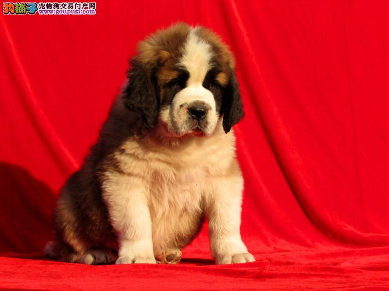 出售性格温顺 善良有爱的圣伯纳幼犬 保健康1