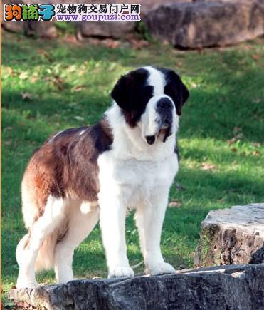 出售性格温顺 善良有爱的圣伯纳幼犬 保健康2