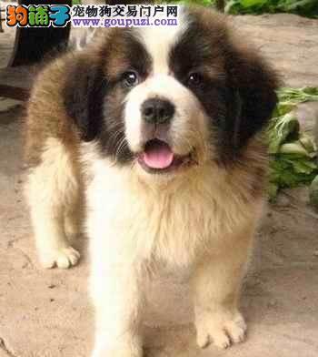出售性格温顺 善良有爱的圣伯纳幼犬 保健康3