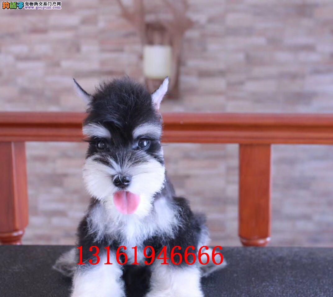 雪纳瑞 纯种雪纳瑞 双血统雪纳瑞幼犬