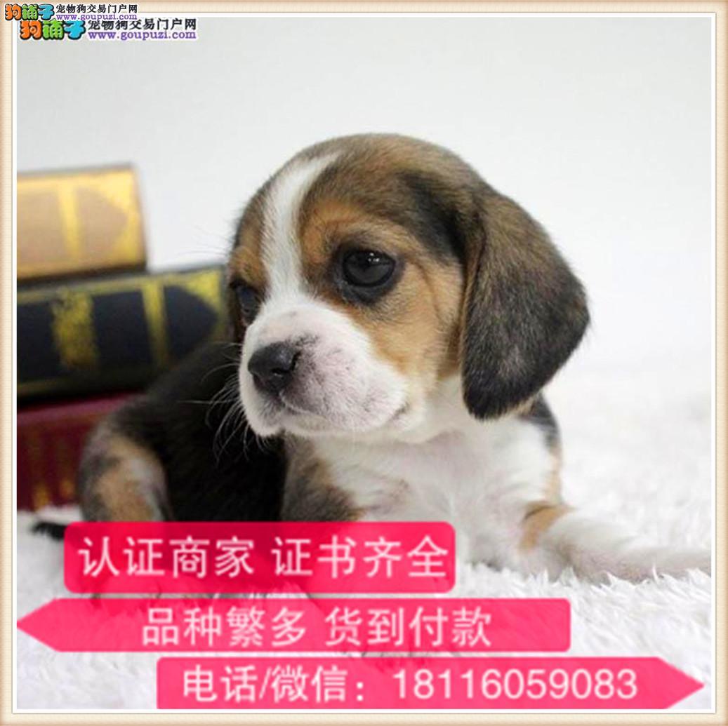 官方保障 出售纯种比格 健康有保障 可签购犬协议